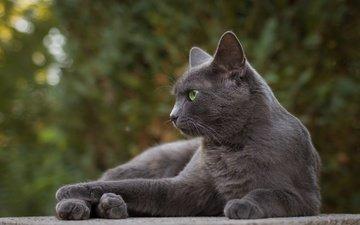 portrait, cat, muzzle, mustache, look, grey