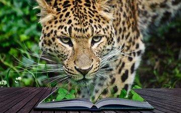 морда, усы, взгляд, леопард, хищник, книга, дикая кошка