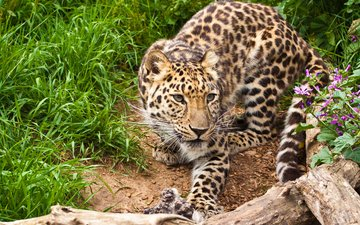 морда, трава, взгляд, леопард, хищник, дикая кошка