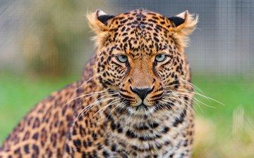 морда, взгляд, леопард, хищник, дикая кошка