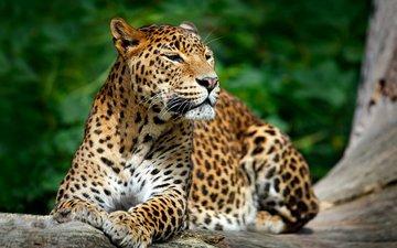 face, nature, look, leopard, predator, wild cat