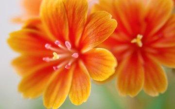 flowers, macro, petals, leviziya