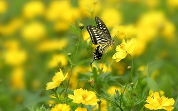 flowers, macro, insect, sailboat, butterfly, wings, bokeh, yellow flowers