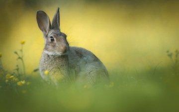 flowers, grass, background, ears, rabbit