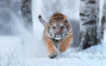 тигр, снег, зима, хищник, большая кошка