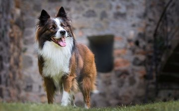 трава, взгляд, собака, язык, австралийская овчарка, birgit chytracek