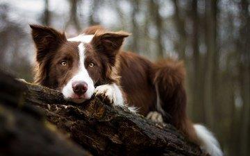мордочка, взгляд, собака, бордер-колли, birgit chytracek