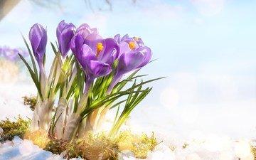 flowers, snow, spring, crocuses