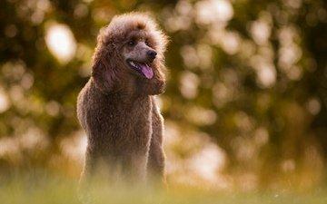 взгляд, собака, размытость, язык, пудель, birgit chytracek
