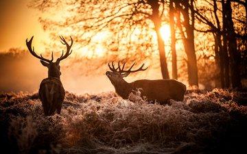 солнце, природа, олень, утро, рога, олени