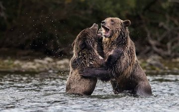 water, nature, bears, grizzly