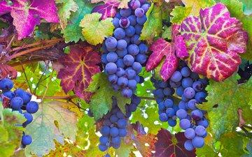 листья, макро, виноград, ягоды, лоза, грозди