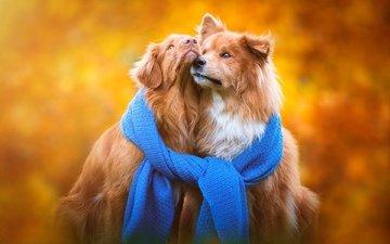фон, осень, щенки, порода, собаки, шарф, золотистый ретривер