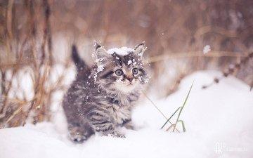 зима, кот, мордочка, усы, кошка, взгляд, котенок, artem karpukhin