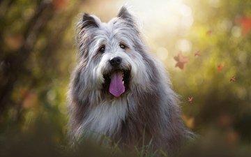 мордочка, взгляд, собака, язык, birgit chytracek, бородатый колли