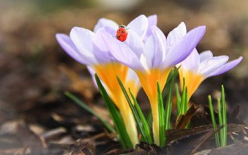flowers, insect, ladybug, spring, crocuses