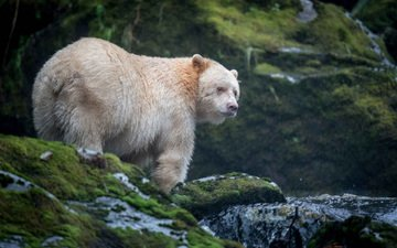 морда, природа, взгляд, медведь, кермодский медведь
