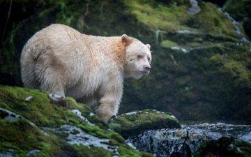 face, nature, look, bear, chermozsky bear