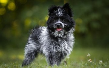 глаза, трава, взгляд, собака, терьер, birgit chytracek, керн-терьер