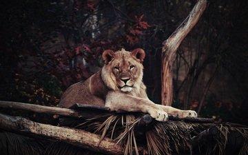 морда, взгляд, лежит, хищник, лев, львица, дикая кошка