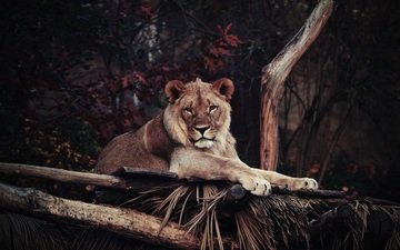 face, look, lies, predator, leo, lioness, wild cat