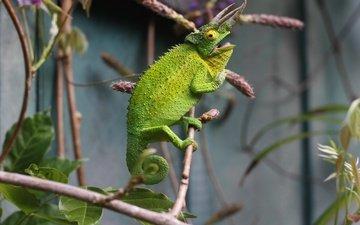 branches, lizard, chameleon, reptile