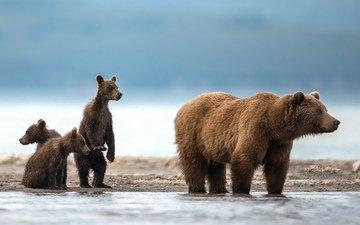 the sky, water, bears, bear, alexander markelov