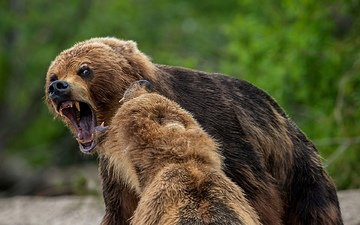 face, look, mouth, bears, brown bear, alexander markelov