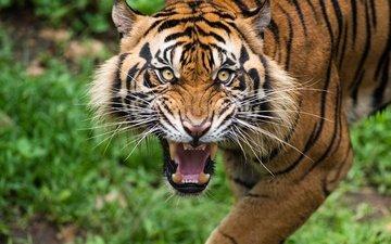 тигр, морда, усы, взгляд, клыки, хищник, зубы, дикая кошка