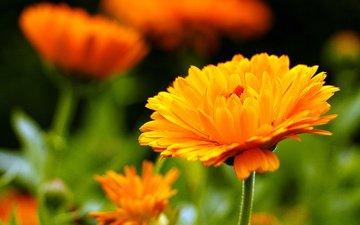 flowers, petals, blur, calendula