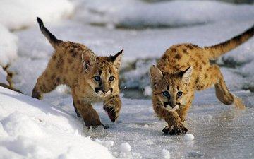snow, ice, puma, mountain lion, cubs, cougar, jaguar