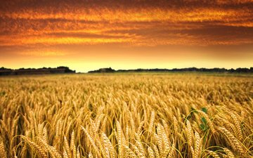 the sky, clouds, the sun, sunset, field, horizon, wheat, harvest