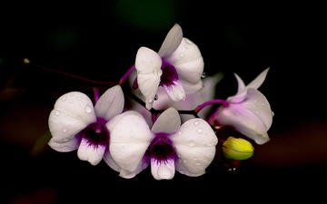 flowers, drops, petals, black background, orchids, orchid, pisoot wangsutthapiti