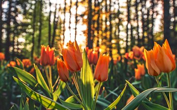 flowers, trees, buds, trunks, spring, tulips, stems