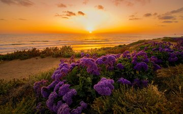 flowers, shore, sunset, ca, the pacific ocean