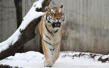tiger, face, snow, look, predator, wild cat