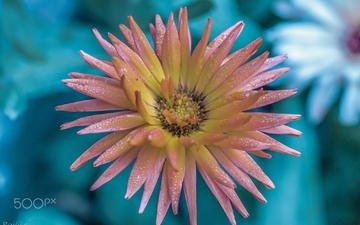 flower, rosa, petals, blur, pink, dahlia, vinny rojas