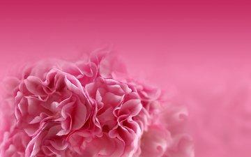 цветок, лепестки, размытость, розовый, гвоздика