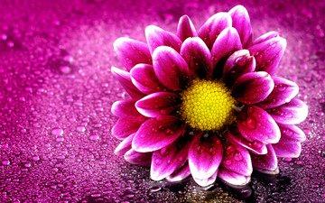 цветок, капли, лепестки, капли воды, георгин