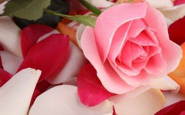 flower, rose, petals, bud