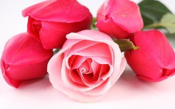цветы, бутоны, розы, лепестки, букет, тюльпаны