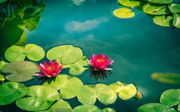 цветы, вода, листья, лепестки, кувшинки, нимфея, водяные лилии