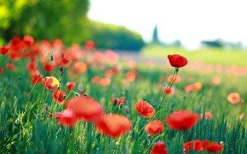 цветы, трава, красные, маки, размытость