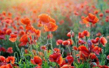 цветы, лето, лепестки, красные, маки, стебли, солнечный свет