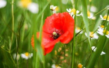 цветы, трава, цветок, лепестки, красный, мак, ромашки, белые