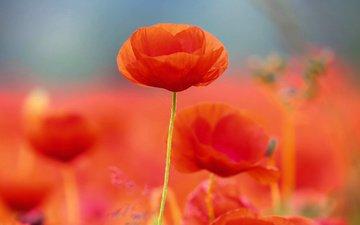 цветы, лепестки, маки, размытость, стебли