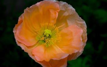 цветок, лепестки, мак, боке, susan chan