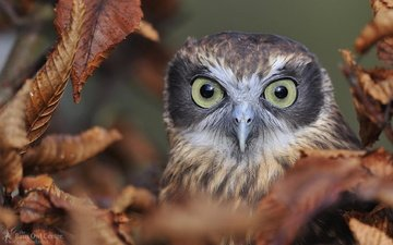 eyes, owl, leaves, look, autumn, bird, beak