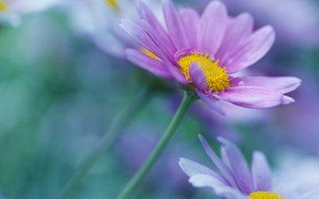 цветы, лепестки, размытость, ромашки, стебли