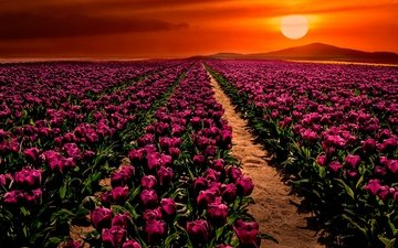 flowers, the sun, sunset, field, spring, tulips, turkey, purple, konya, çumra, cumra
